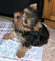 Yorkie Puppies For Free Adoption.
